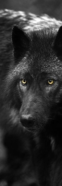 Dark Wolf. I think they look so nice. Please check out my website thanks. www.photopix.co.nz