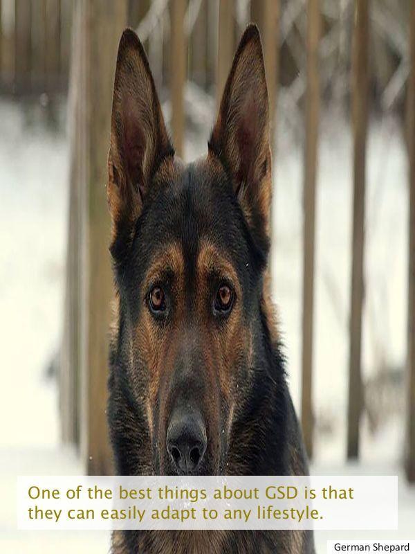 Looking For Short Haired German Shepherd Puppy Buy German