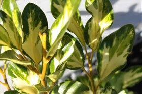 Griselinia littoralis - Moores valley nurseries - Dixons Cream