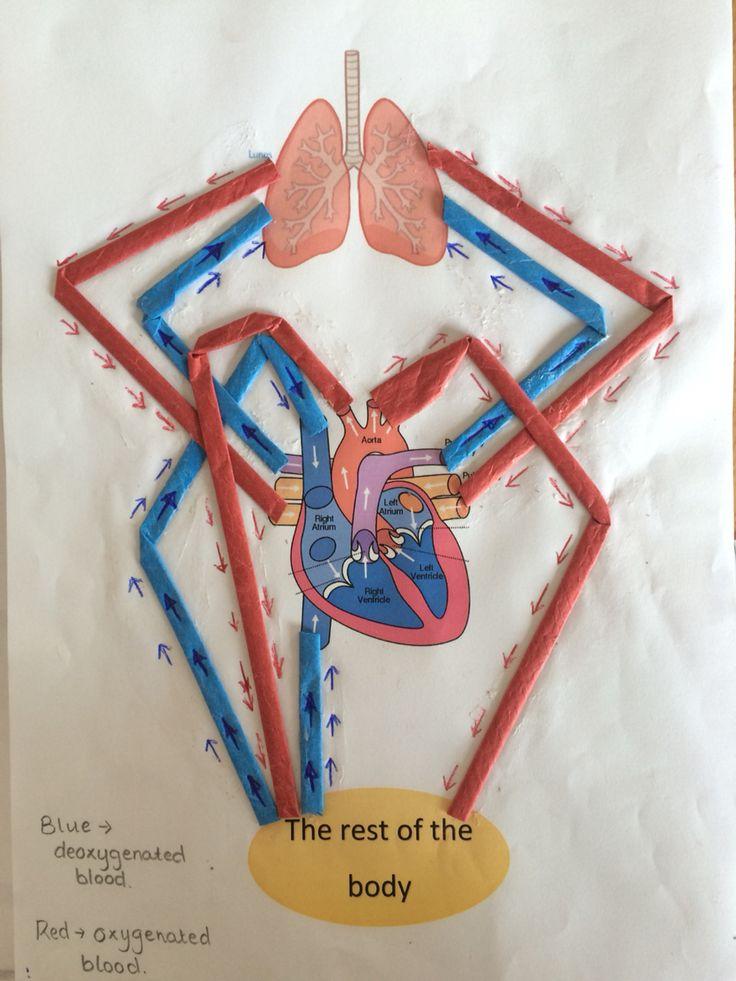The circulatory system ks2 Варто спробувати Pinterest