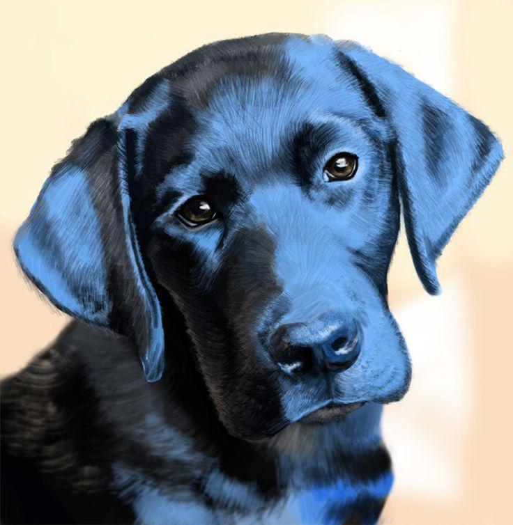 Perro labrador raza, caracter�sticas y morfolog�a. Aprende de este inteligente animal, f�cil de adiestrar y perfecto como mascota de familia.
