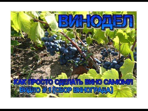 Как просто сделать вино самому! Видео #1. (Сбор Винограда)