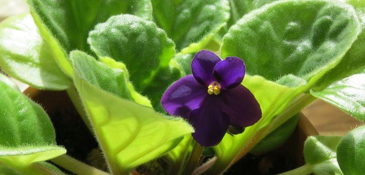 Varietatea de culori a florilor pe care le produc tot timpul anului și cultivarea ușoară recomandă violetele africane ca excelente plante de apartament. Aflați mai multe...