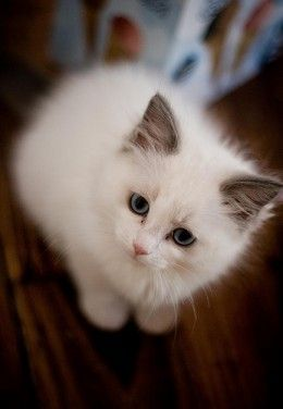 I want a Blue Bi Color Ragdoll kitten