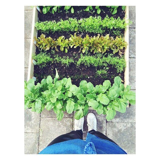 Stadsodling på hög nivå  Kungsholmen  #stadsodling #ekologiskt #organic #grönsaker #grönsaksodling #growyourown #odling #cityfarmer #citygarden #city #garden #citychic #trend #grow #seedling #seeds #health #gogreen #green #salad #sallad #inspo #gardeninspo #cityinspo #sweden #kungsholmen #trädgård #land