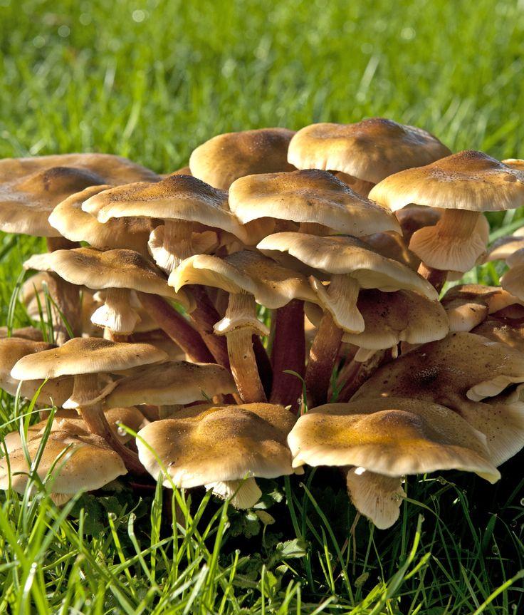 """Armillaria mellea (Vahl) P. Kumm., Führer Pilzk.: 134 (1871) """"famigliole""""  Questo fungo meriterebbe, secondo autori del passato, il nome di """"asparago dei funghi"""" per il fatto che la parte buona di esso è l'estremità superiore del gambo unitamente al cappello, il resto dei gambi è coriaceo ed assai indigesto. Fotografato a Forte dei Marmi nel giardino il 02/12/2014 le cappelle sono buonissime. Cuocere bene, sbollentare prima di cucinarli, stupendi con prezzemolo ed aglio #guidofrilli"""