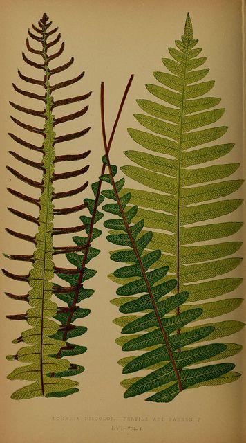 Ferns: British and exotic V.4  London,Groombridge and Sons,1856-60.  biodiversitylibrary.org/item/107961