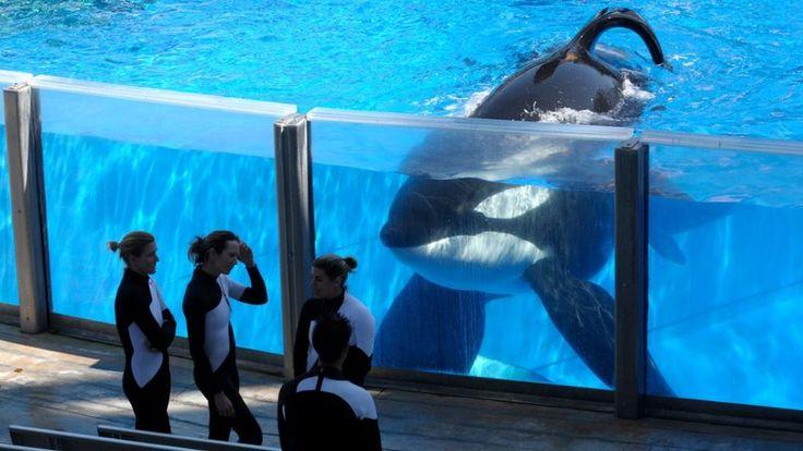 SeaWorld orca Tilikum who killed trainer dies - BBC News