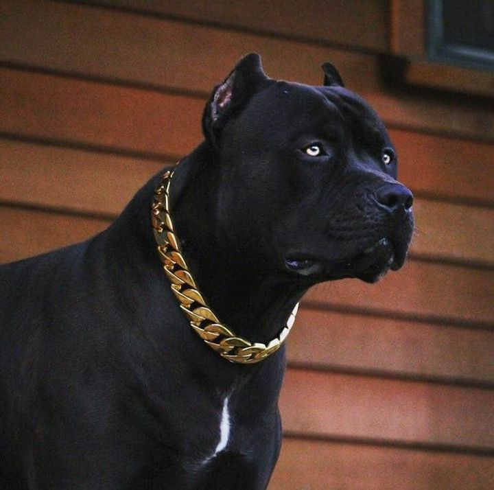 Black Beauty Pitbull Terrier Pitbull Dog Corso Dog