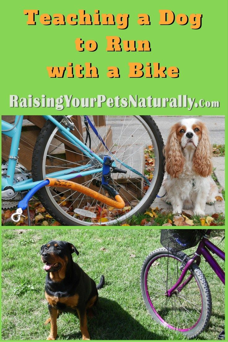 Introducing your dog to running with a bike: I feel this step is very important, and for some dogs it may actually take some time and practice. It really depends on the dog's confidence and focus on how long this step may actually take. The last thing you