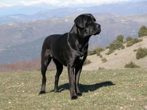 Powerful and athletic, the Cane Corso is a giant purebred used in catching swine and cattle. Althoug... - Wikipedia