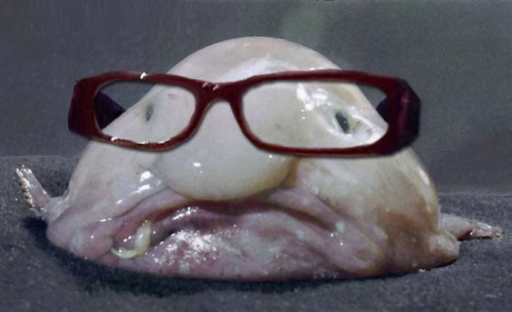 Jabba the hut fish blob fish with douche glasses for Ugly fish blob