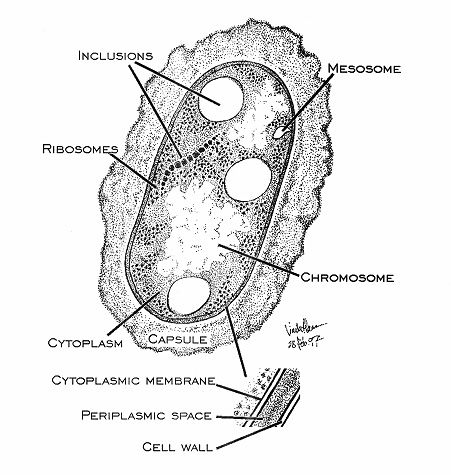 Structure and Function of Bacterial Cells