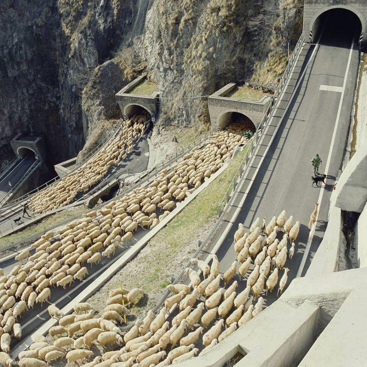 Sheep Traffic! It happened in Abruzzo.