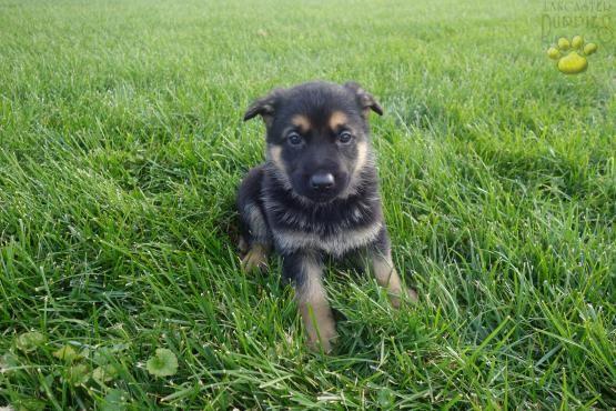 Bear German Shepherd Puppy For Sale In Gap Pa German Shepherd Puppies Puppies Lancaster Puppies