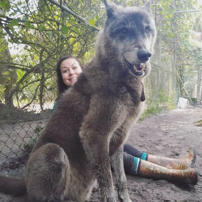 Owner Dumped Wolfdog At Kill Shelter When He Got Too Much To Handle Luckily This Sanctuary Saved Him Wolf Dog Dog Breeds Big Dogs