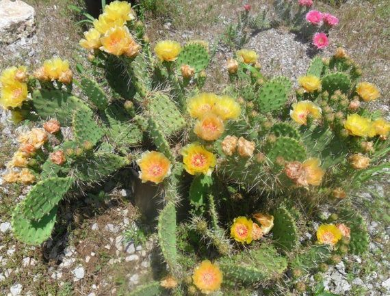 Cold Hardy Prickly Pear Opuntia Cactus Large Ruffled Yellow