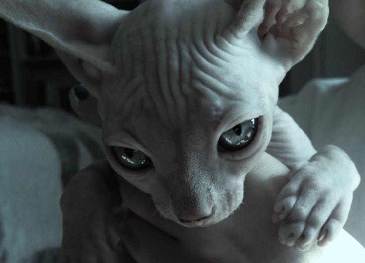 chat sans poil