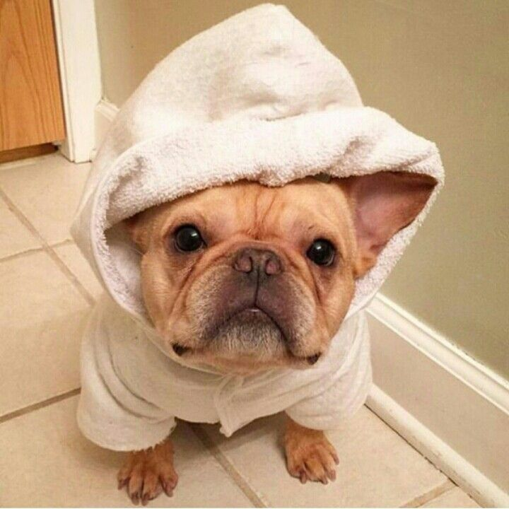 Ronnie, the French Bulldog after her Bath, @badgalronnie on instagram