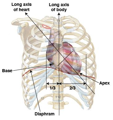 25+ best ideas about thoracic cavity on pinterest | open heart, Human Body