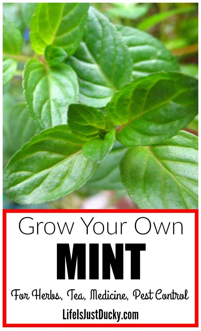 You should be growing mint in your own herb garden. Just one plant will provide you with enough mint leaves for all your needs. Whether they are picking the leaves to put in your drinks or spicing up vegetables or making a medicinal tea. There are so many benefits to having fresh mint around.