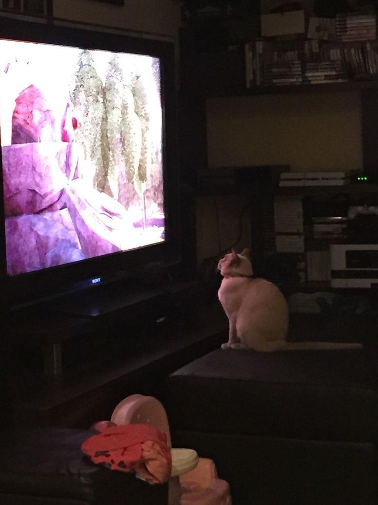 Cats love to watch tv!  Lucinda lilac Burmese