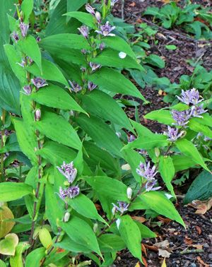 Hairy toad lily, Tricyrtis hirta, in bloom.