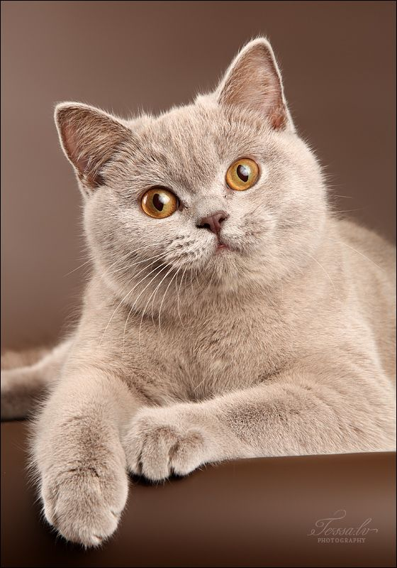 37 best Cream British Shorthair images on Pinterest ... Loathe Cat