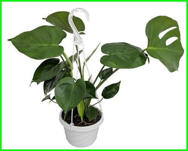 22 Tanaman Hias Yang Hidup Tanpa Sinar Matahari Dunia Fauna Hewan Binatang Tumbuhan Low Light Plants Low Light Indoor Plants Plants