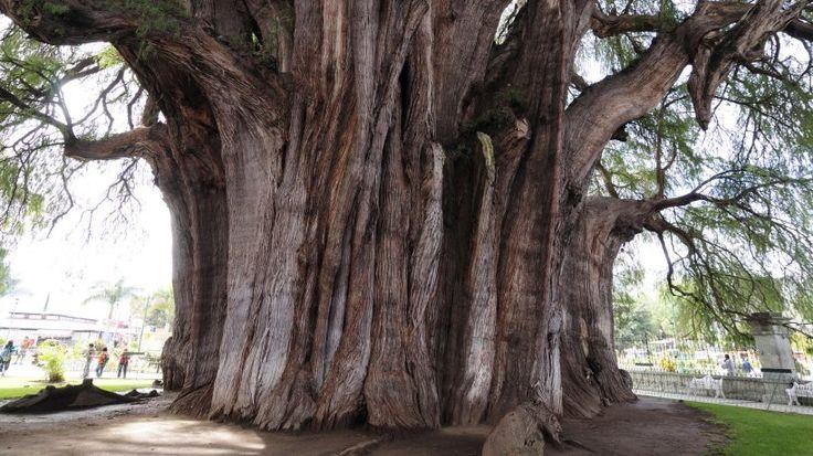 Dickster Baum der Welt, Mexico-Mexikanische-Sumpfzypresse.jpg