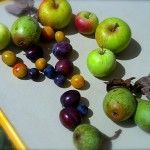 Geplukt Fruit. Niets is zo leuk als zelf je fruit van een boom te kunnen plukken, helemaal als je op vakantie bent, en dan helemaal als je in het land bent wat je erg leuk vindt! Frankrijk! www.Roozfahion.nl/voler en bekijk de andere foto's :)