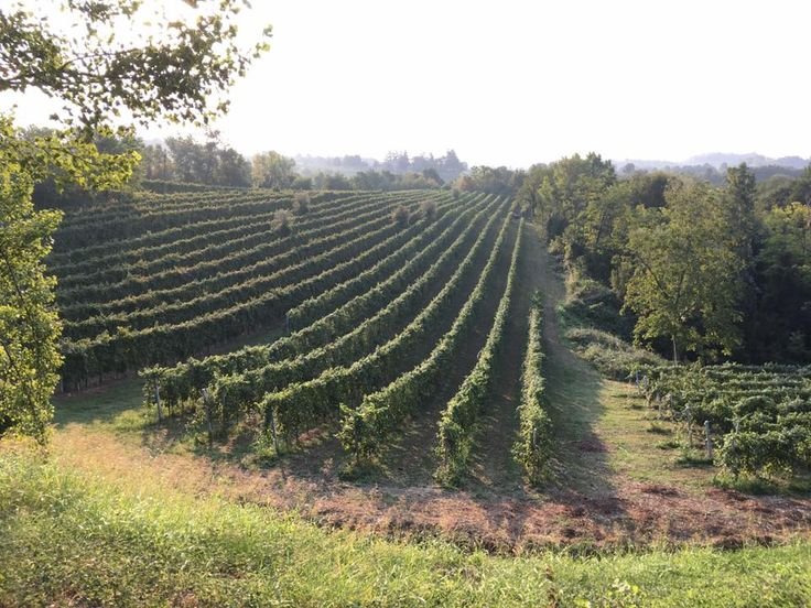 vitigno di prosecco
