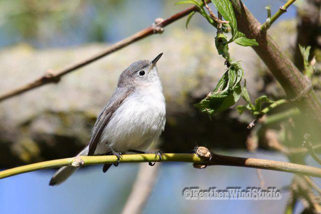 Blue Gray Gnatcatcher Photo | Bird Photography | Small Grey Songbird | Wildlife Home Decor | FeatherWindStudio | Gnat Catcher Bird Art Print by FeatherWindStudio on Etsy