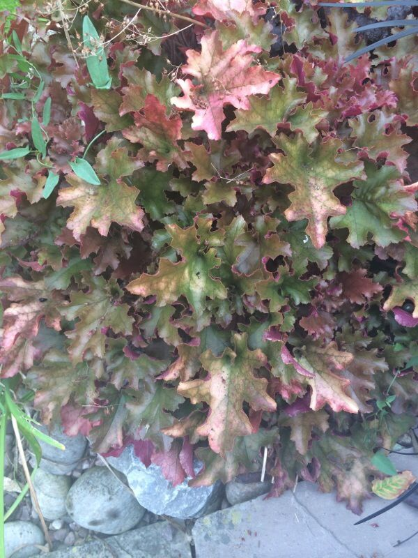 Free Plant Identification Plant identification, Heuchera