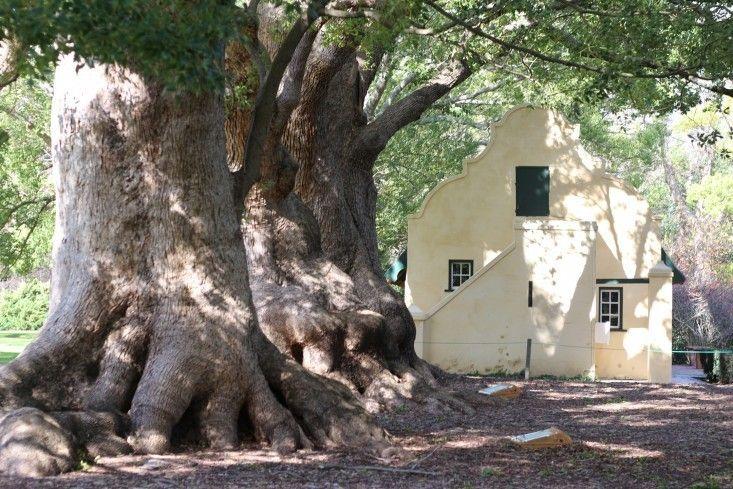 camphor trees Vergelegen Marie Viljoen ; Gardenista