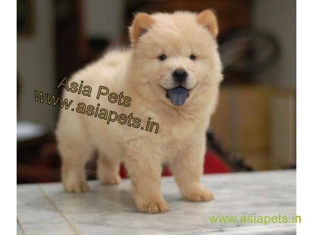 Chow Chow Puppies Price In Ranchi Chow Chow Puppies For Sale In