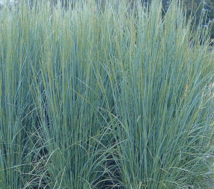 poa labillardieri suggan buggan gardening grasses and grass like plants pinterest to. Black Bedroom Furniture Sets. Home Design Ideas