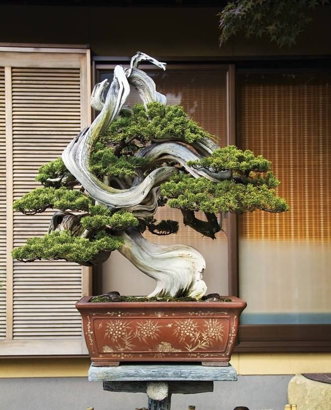 Juniperus by jan
