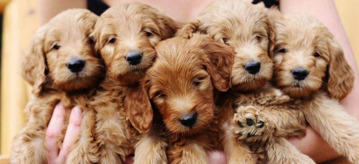 Goldendoodle Puppies | Lonestar Doodles