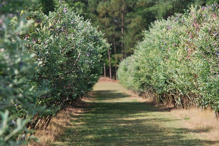 Blueberry Farm | dozen different varieties of blueberries to choose from at this farm ...