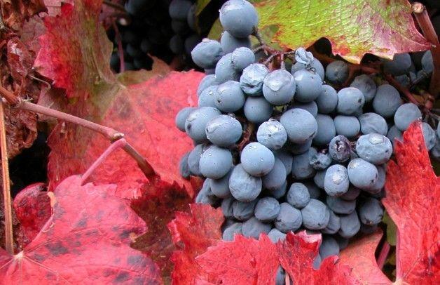 Uvas vendimia tardía