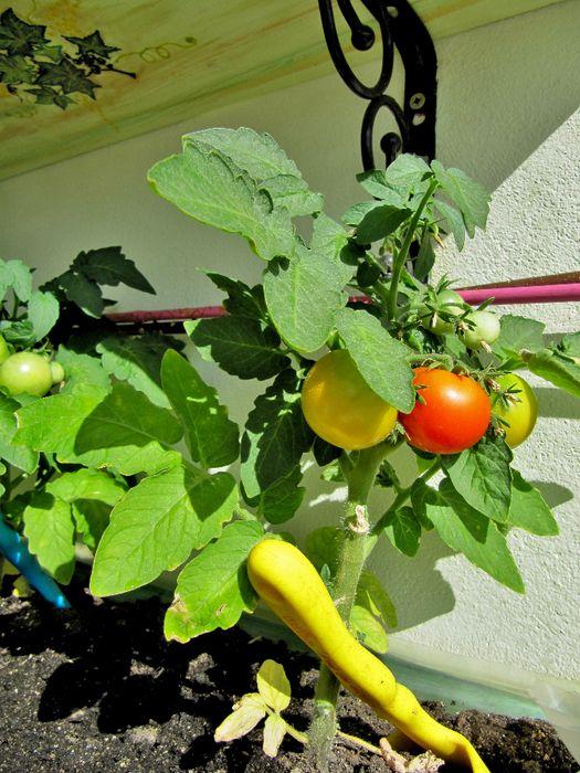 ГРИГОРАШИК - маленький крепкий кустик, помидорки примерно 3 - 4 см в диаметре. http://www.liveinternet.ru/users/ma-musik/blog#post395179991