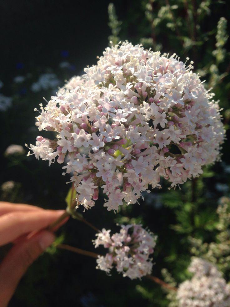 Valerian flowering 25 July