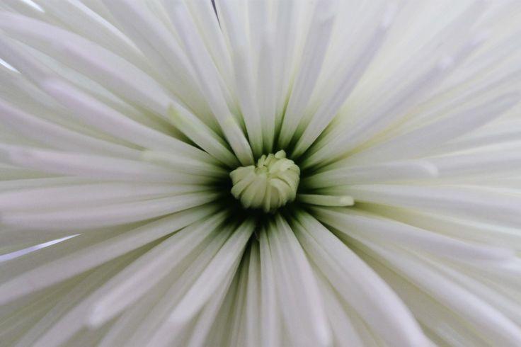 Crisantemo blanco. www.kharismafloral.com