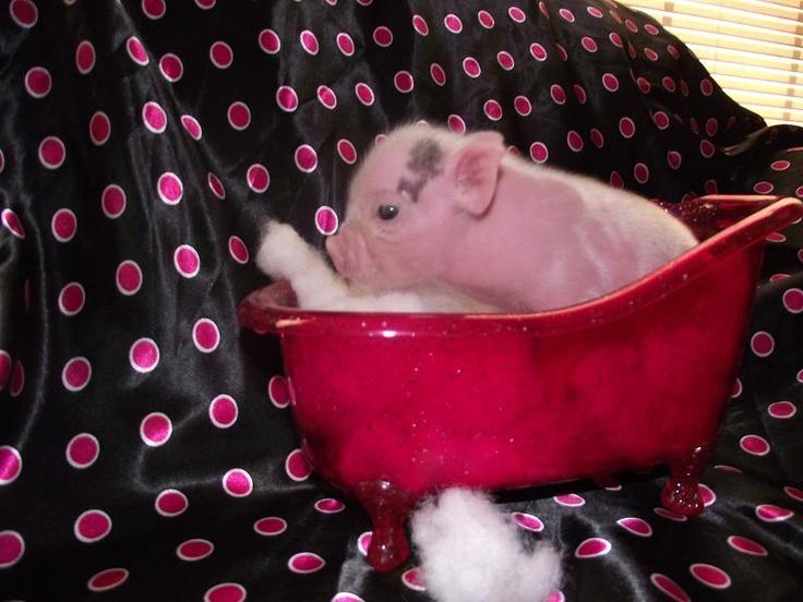 Everyone needs a teacup piggy. Go to www.pamperedpiglets.com