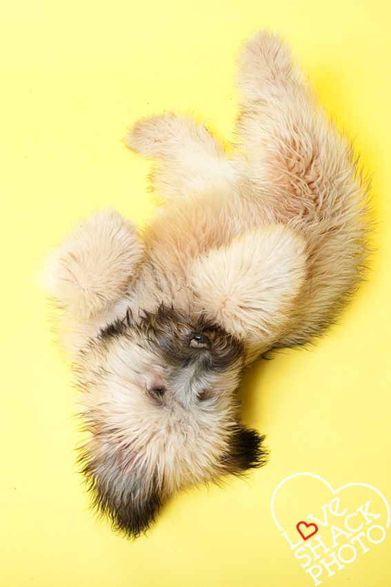 snuggleishious wheaten terrier