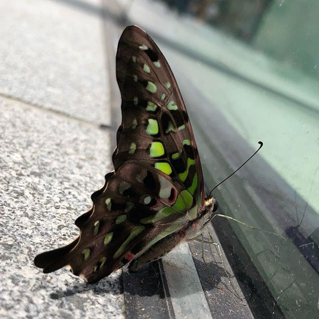 Butterfly looking at Apple Store today in Singapore   @sunysky - - - - #butterfly #apple #singapore #sg #glass #windows #nature #city #urban #applestore