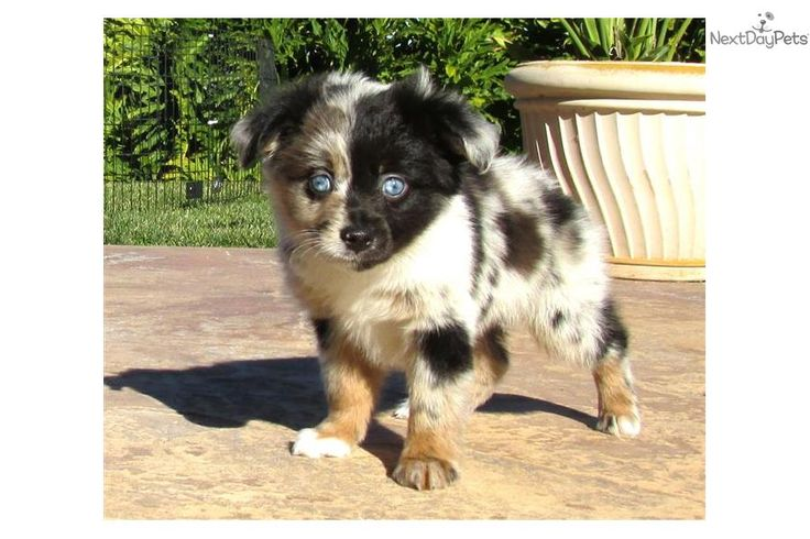 Meet Cobalt a cute Miniature Australian Shepherd puppy for sale for $1,295. Adorable Mini Australian Shepherd Puppy 4 Sale !