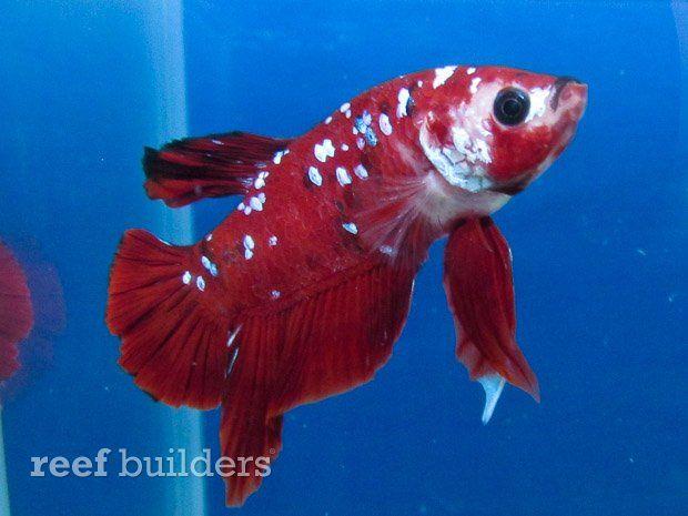 Incredible jeweled betta rare jeweled betta betta for Rare types of betta fish