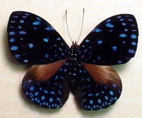 Google Image Result for http://www.butterfly-designs.com/butterflies/images/2/hamadryaslaodamia2.jpg
